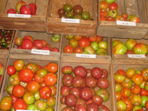 Cover photo for Heirloom Tomatoes Galore at Waynesville Research Station