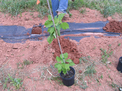 close up of one of the trees being planted