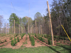 Cover photo for Where to Get Information on Growing Hops in North Carolina