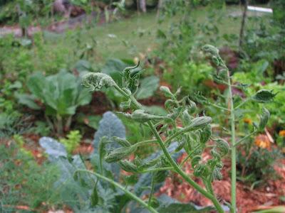 Damaged tomato plant in Asheville garden