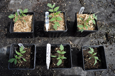 Three plants in top row planted with suspectedhay and three in bottom row planted with suspected manure