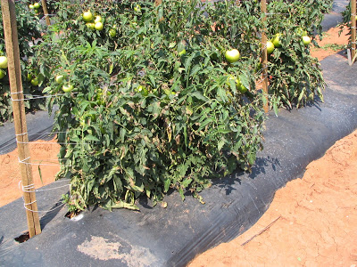 staked tomato plants