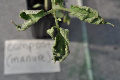 damage on tomato leaves