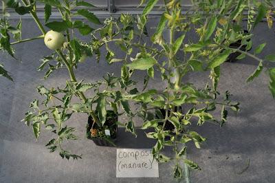 damage on tomato plants