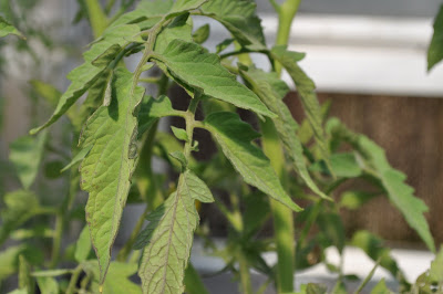 signs of damage on tomato leaves