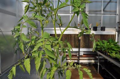 weak looking tomato plant