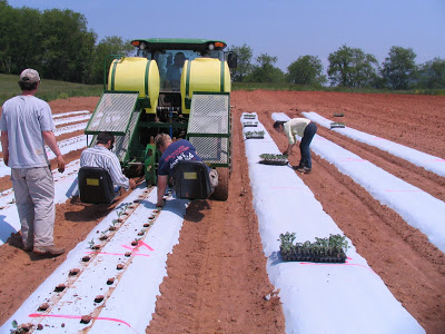 planting broccoli into rows covered with white plastic mulch