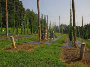 Cover photo for What Does Our Research Hop Yard Look Like Now?