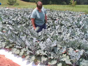Cover photo for Update on the NC Component of the East Coast Broccoli Project