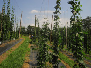 Cover photo for NC Craft Beverage Meeting: Hop Growing & Enzyme Use in Beverage Production