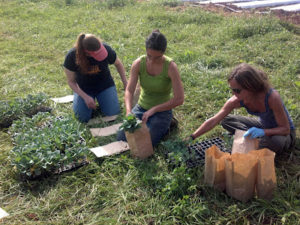Cover photo for How the NC Component of the East Coast Broccoli Project Is Looking