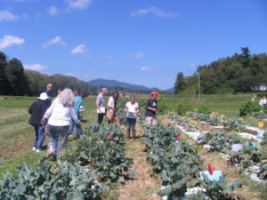 Cover photo for Preliminary Results From WNC Organic Participatory Broccoli Variety Screening Trial