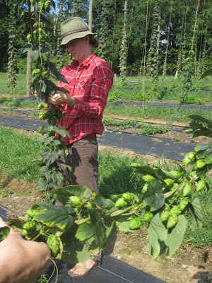 person working on hops plant