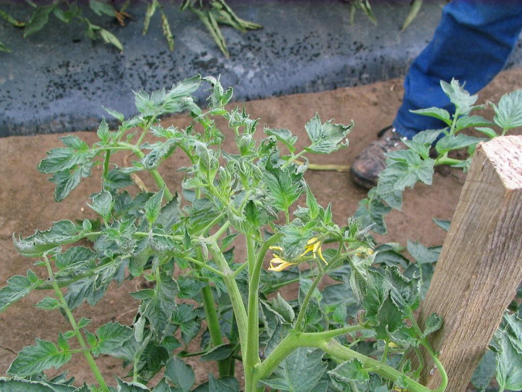 Aminopyralid damage on tomatoes