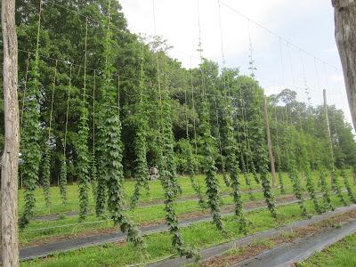 a hop yard