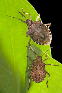 Cover photo for Updates for Farmers on Brown Marmorated Stink Bugs and Kudzu Bugs