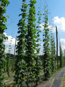 Cover photo for Hops Variety Trial Tour-Friday, July 12