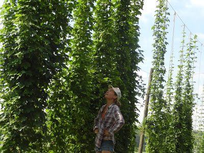 Kelly Gaskill studying the hops in our research hop yard. Obvious differences among varieties.