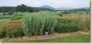 Cover photo for Bioenergy-Biofuels Crops Field Day on Sept. 4
