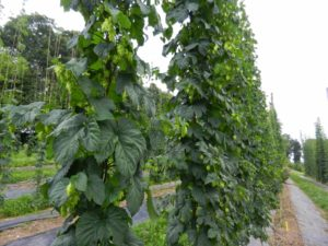 Cover photo for 4th Annual NC State Hop Yard Field Day - July 18, 2014