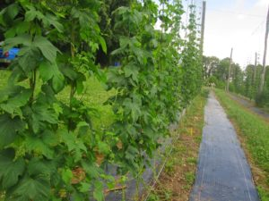 Cover photo for Notes From Our April Hops Growers Meeting