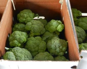 Cover photo for Organic Broccoli Harvest and Post-Harvest Field Event-Sept. 11