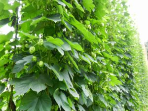 Cover photo for Health Concerns for Hop Growers and Processors-What You Need to Know