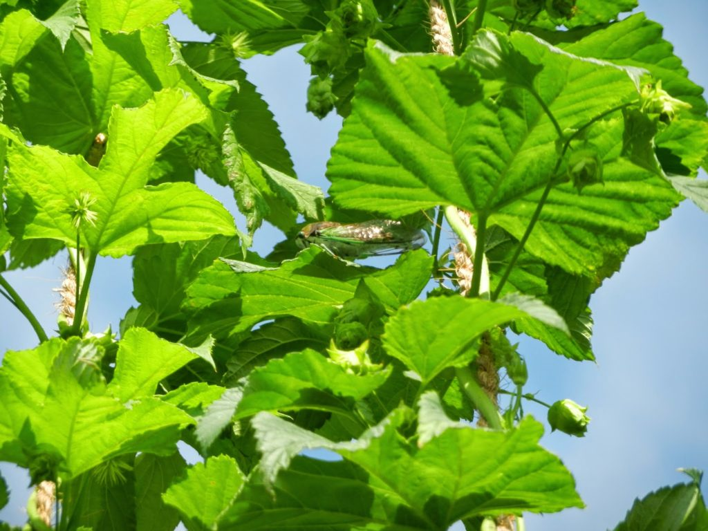 close up of hops vine
