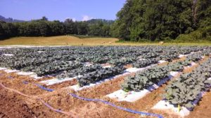 broccoli field at the research station