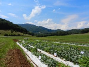 organic broccoli trial at the mountain research station