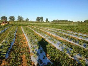 on-farm broccoli trial