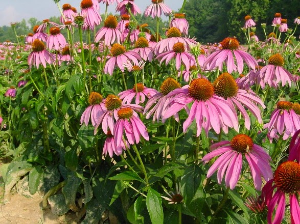 planting of Echinacea purpurea in bloom