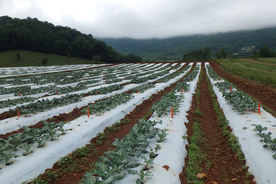 broccoli crop in white plastic covered rows