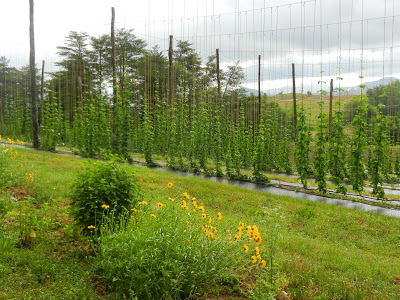 row of hops in hop yard