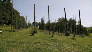 Cover photo for Oh No, the Hops Are on the Ground!