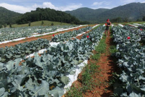 Cover photo for Join Us for the WNC Broccoli Growers Meeting
