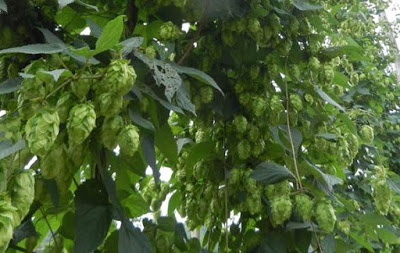 hop plants full of ripe cones