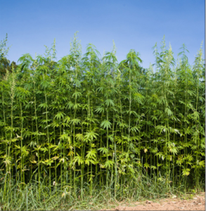Cover photo for Can I Grow Hemp in North Carolina?