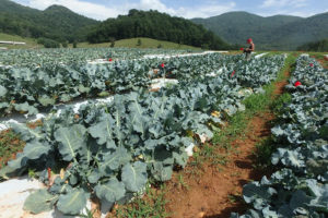 Cover photo for Growing Organic and Conventional Broccoli in Western North Carolina