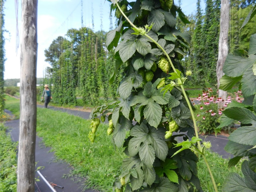 An Update From the NC Research Hop Yard-End of July Report ...