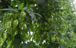 hop plants heavy with cones