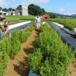 2015 Harvesting the stevia
