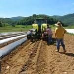 2015 Transplanting stevia in field