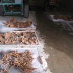 Fig. 20. Echinacea fresh root samples were air-drying