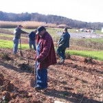 Fig. 24. Echinacea roots harvest in Mills River, NC in Nov. 2013