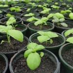 basil_seedlings300