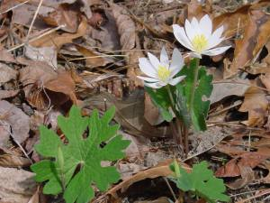 bloodroot in flower