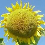 oilflower275w