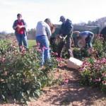 root harvest crew