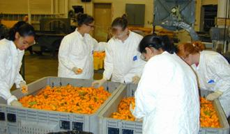 researchers working with harvested peppers